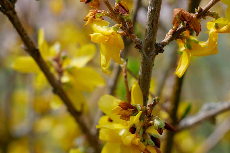 A close up horizontal image of the yellow blossoms of forsythia fading and setting seed pictured in light sunshine on a soft focus background.