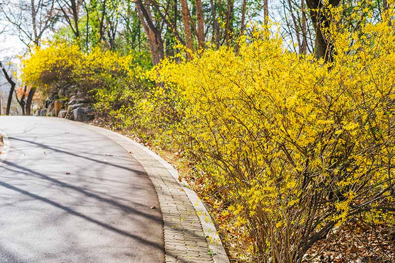 A horizontal image of ornamental shrubs with bright yellow flowers growing as an informal hedge beside a driveway.