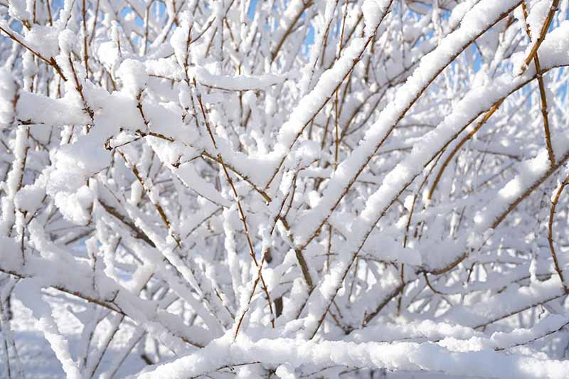 A close up horizontal image of a perennial shrub growing in the garden covered in an inch of snow.