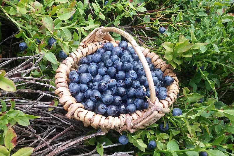 A close up horizontal image of a wicker basket filled with freshly picked berries set on the ground in the garden.