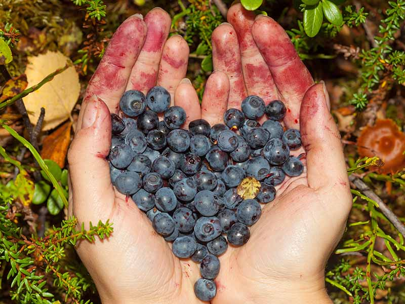 A close up horizontal image of two hands holding freshly picked berries in the home garden.