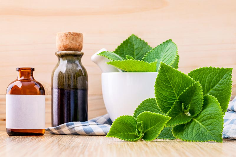 A close up horizontal image of two small bottles of essential oil set on a wooden surface, to the right of the frame are freshly harvested Coleus amboinicus leaves in a pestle and mortar spilling over the side.