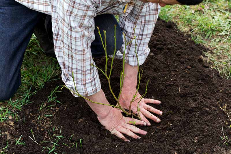 A close up horizontal image of a gardener planting a shrub in the garden.