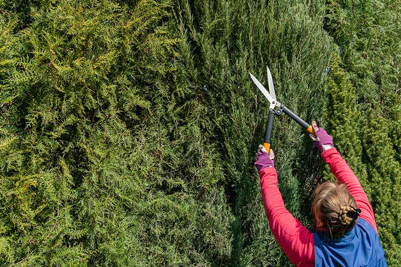 A close up horizontal image of a gardener from the right of the frame using large pruners to cut back a conifer hedge.