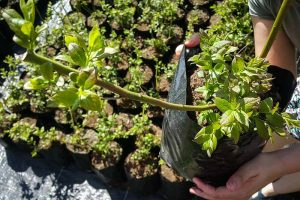 How to Transplant Blueberry Bushes