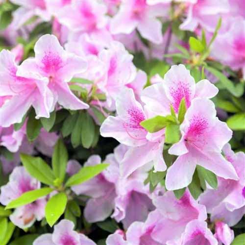 A close up square image of pink and white bicolored 'George L. Taber' azaleas with bright green foliage fading to soft focus in the background.