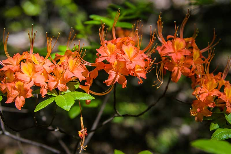 A close up horizontal image of the orange flowers of the Oconee azalea, R. flammeum, pictured on a soft focus background.