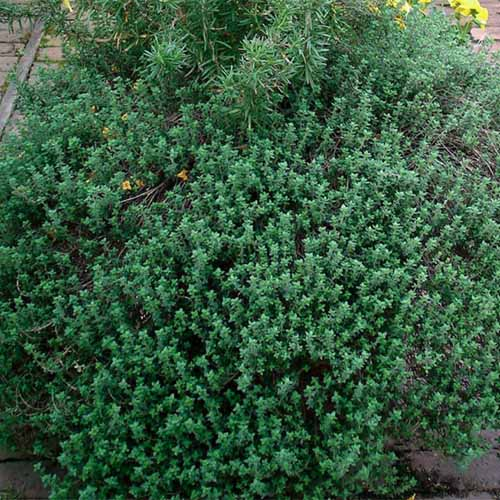 A close up square image of German thyme growing in a container on a brick patio.