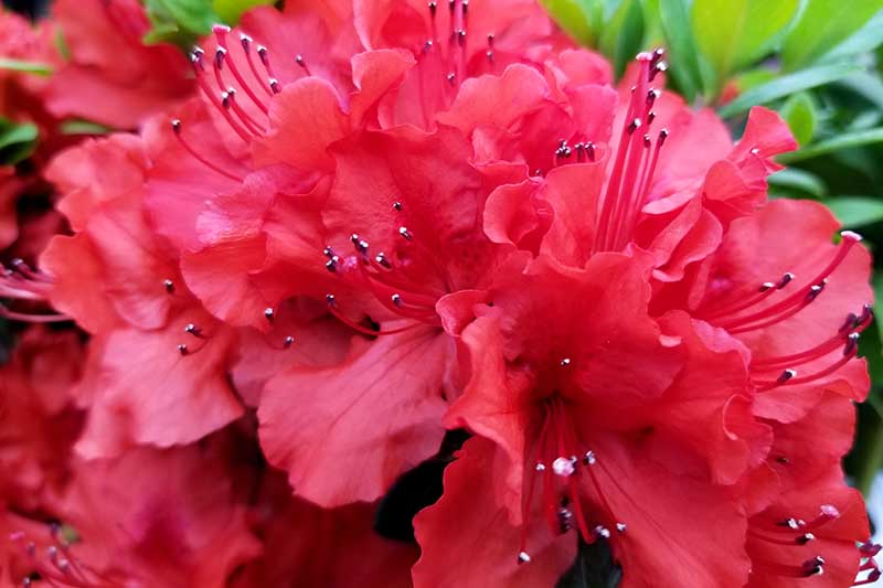 A close up horizontal image of bright red Girard hybrid azalea flowers pictured on a soft focus background.