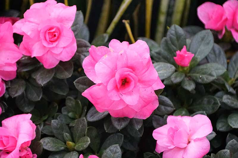 A close up horizontal image of bright pink flowers with dark green foliage pictured on a soft focus background.