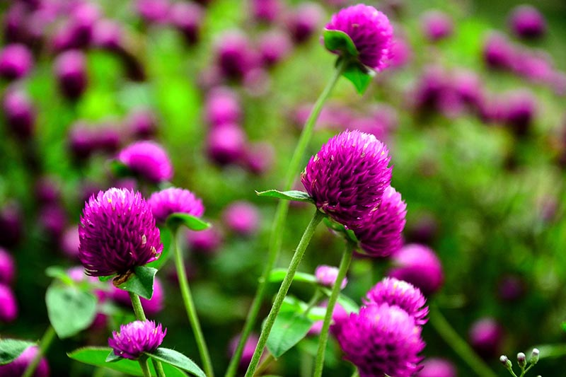 A close up horizontal image of purple Gomphrena globosa flowers growing in the garden pictured on a soft focus background.