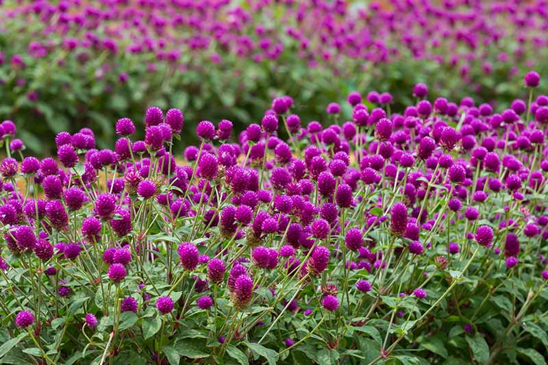 A horizontal image of large swaths of purple globe amaranth flowers growing outdoors in the backyard.