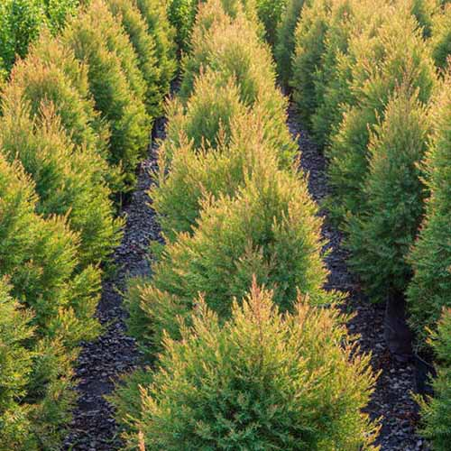 A square image of rows of Juniperus 'Gold Cone' with paths in between the trees.