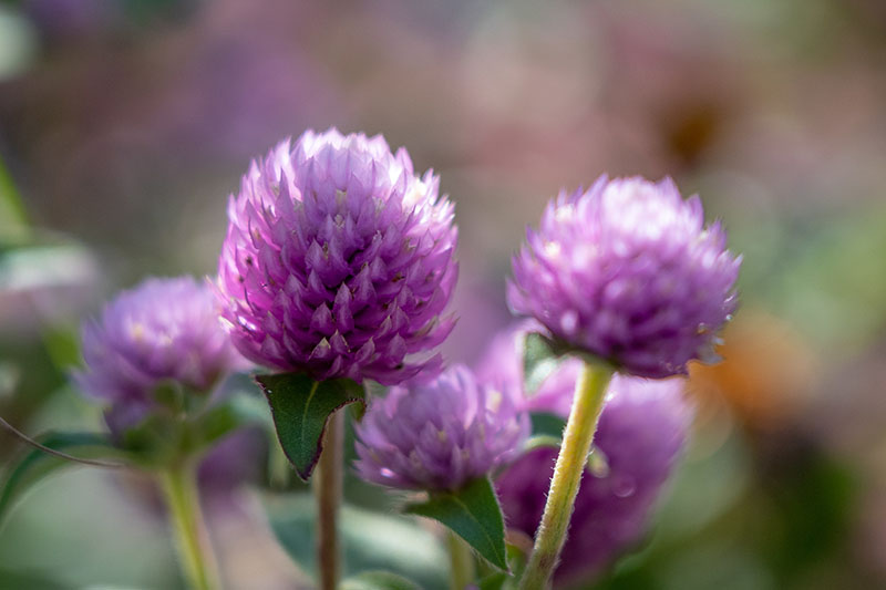 A close up horizontal image of small pink Gomphrena globosa flowers pictured on a soft focus background.