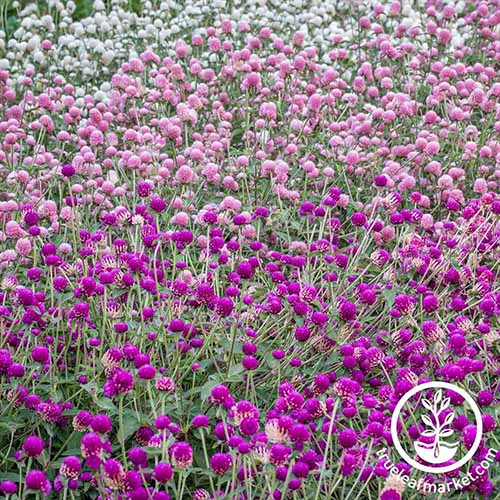 A square image of swaths of pink, purple, and white Gomphrena 'Gnome' flowers. To the bottom right of the frame is a white circular logo with text.