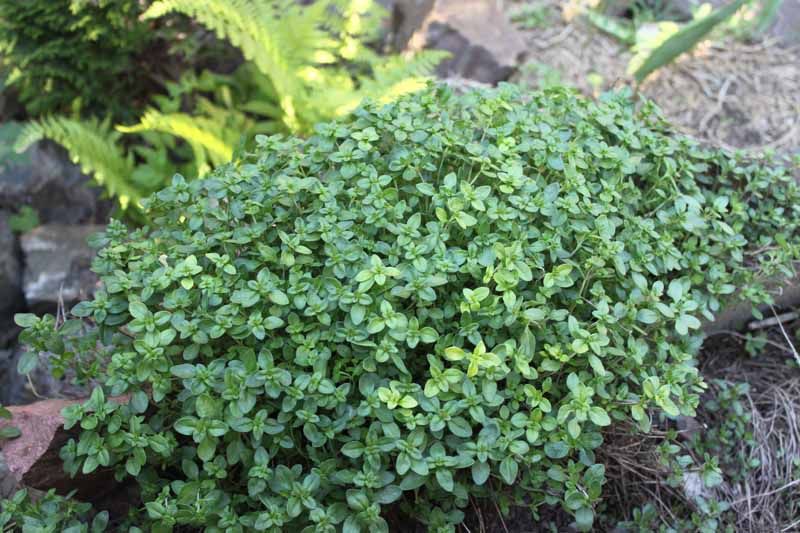 A close up horizontal image of a small creeping thyme plant growing on rocks in a shady spot in the garden with ferns in soft focus in the background.