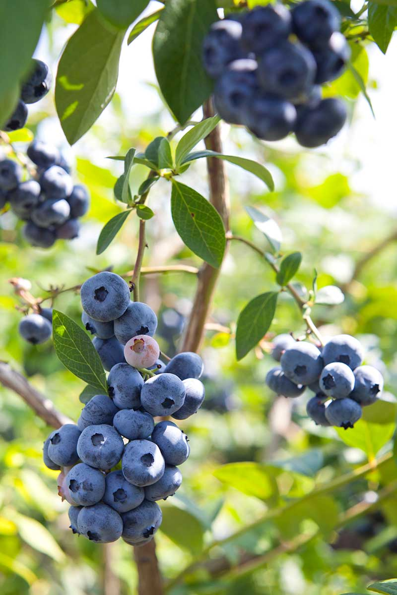 A close up vertical image of ripe and ready to harvest homegrown highbush blueberries pictured in bright sunshine on a soft focus background.