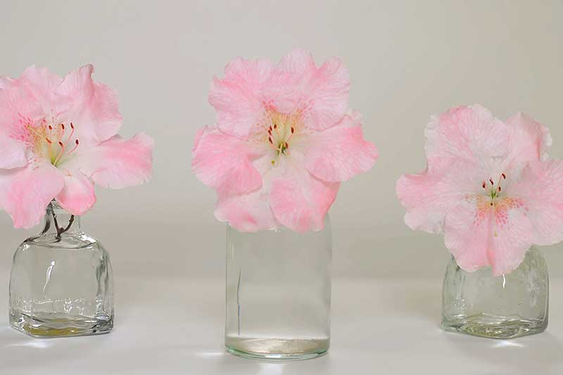 A close up horizontal image of three pink flowers in separate glass jars pictured on a light gray background.