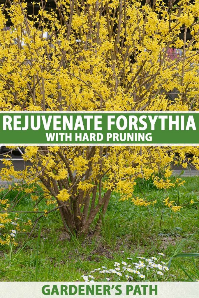 A close up vertical image of a forsythia shrub in full bloom growing in the garden. To the center and bottom of the frame is green and white text.
