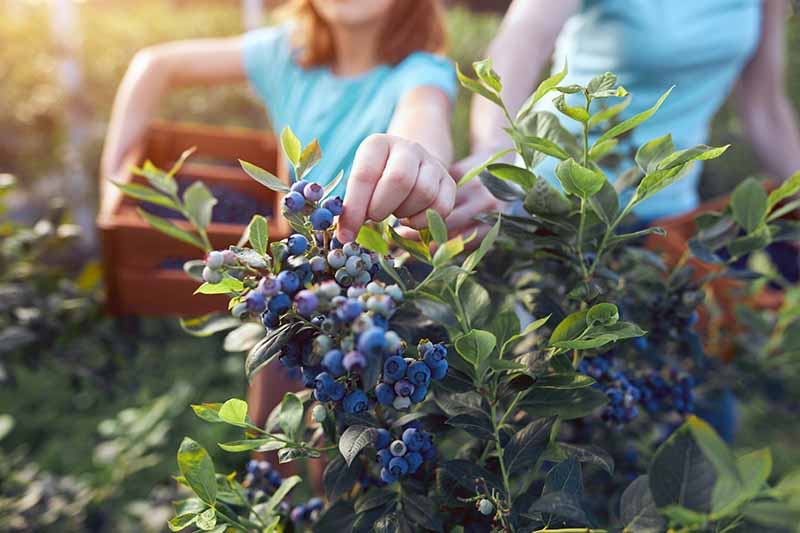 A close up horizontal image of two children harvesting blueberries from the garden pictured in light sunshine on a soft focus background.