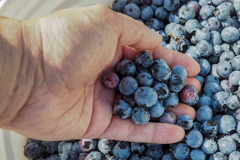 A close up horizontal image of a hand from the left of the frame holding a handful of berries out of a white bucket.