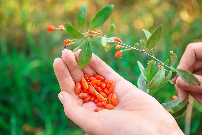 A close up horizontal image of a hand from the bottom of the frame harvesting orange goji berries from a branch pictured on a soft focus background.