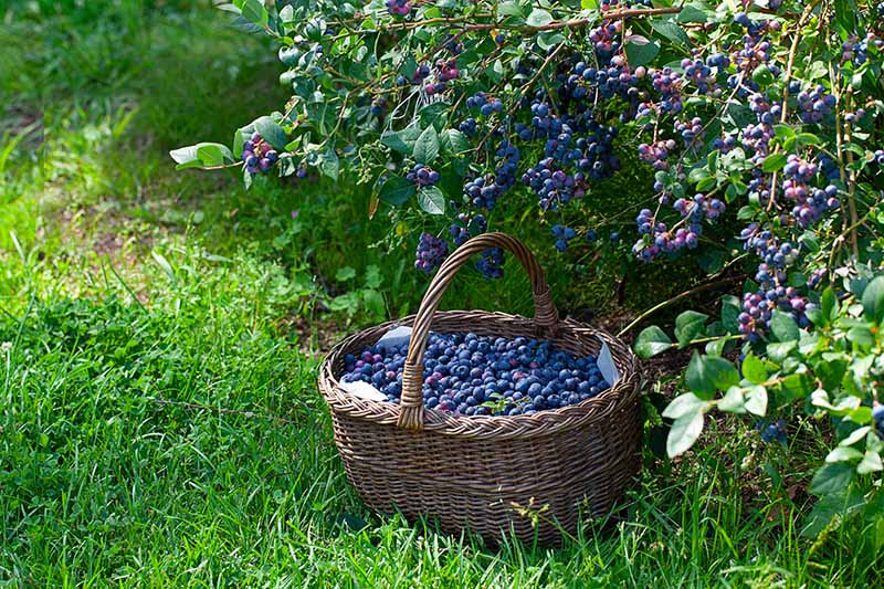 A horizontal image of a wicker basket set on a grassy verge filled with freshly harvested highbush blueberries with a shrub laden with ripe fruits in the background.