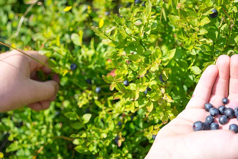 A close up horizontal image of two hands harvesting ripe blueberries in light sunshine.
