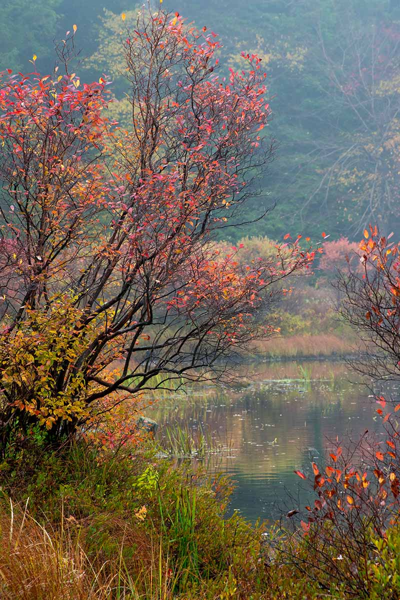 A vertical image of a large highbush blueberry bush (Vaccinium corymbosum) growing wild by the side of a lake with autumn colors. In the background is a hillside with trees and shrubs in soft focus.