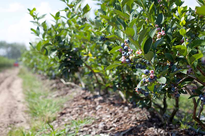 A horizontal image of Vaccinium corymbosum shrubs growing by the side of a track in rows pictured in light sunshine.