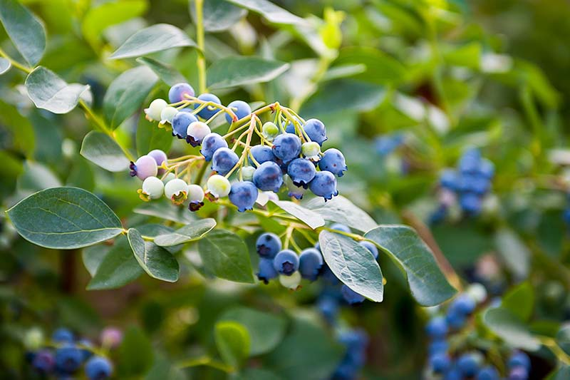 A close up horizontal image of a Vaccinium shrub with ripe and unripe berries growing in the garden pictured on a soft focus background.