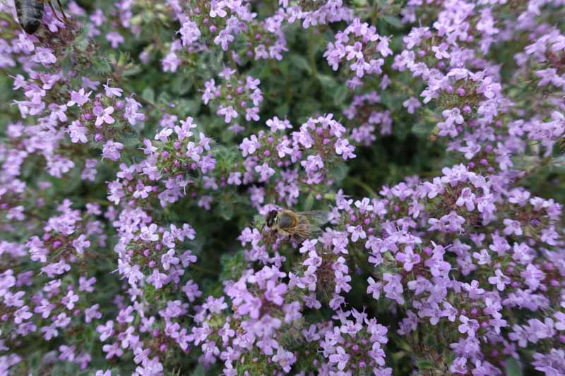A close up horizontal image of a bee pollinating the tiny purple flowers of Thymus praecox aka creeping thyme grown as a ground cover.