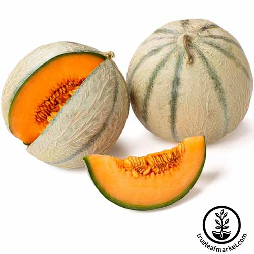 A close up square image of two 'Honey Rock' melons, one whole and one with a slice cut out to reveal the bright orange flesh isolated on a white background. To the bottom right of the frame is a black circular logo with text.