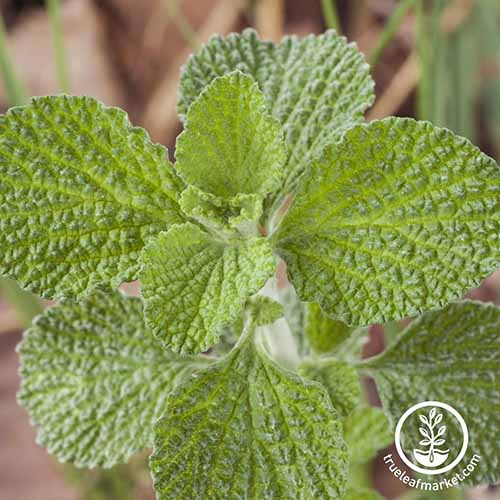 A close up square image of the foliage of Marrubium vulgare on a soft focus background. To the bottom right of the frame is a white circular logo with text.