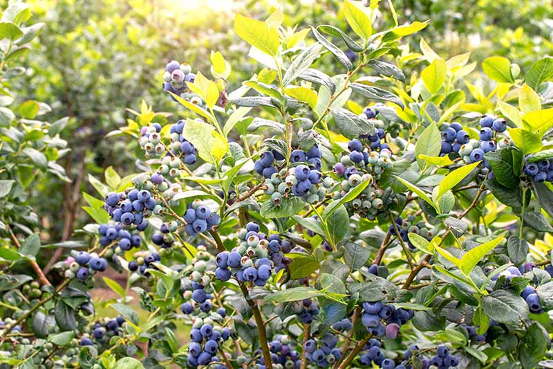 A close up horizontal image of a blueberry bush with ripe and unripe fruit pictured growing in the garden in bright sunshine.