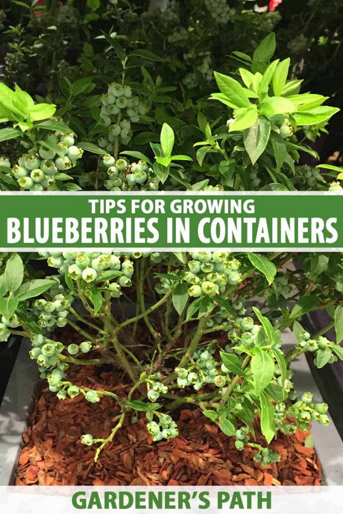 A close up vertical image of a Vaccinium shrub growing in a container set outdoors on the patio pictured in light sunshine. To the center and bottom of the frame is green and white printed text.