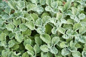 How to Grow Horehound