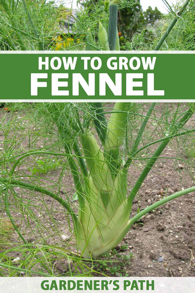 A close up vertical image of a fennel plant growing in the vegetable garden. To the top and bottom of the frame is green and white printed text.