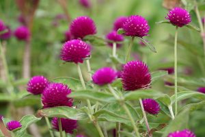 How to Plant and Grow Globe Amaranth