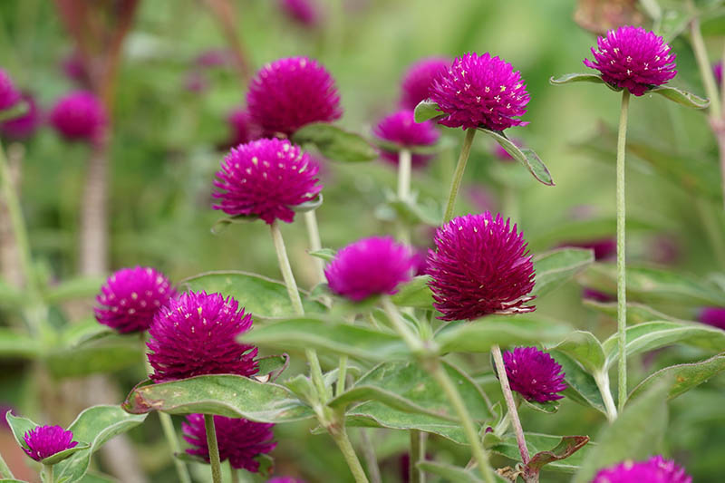 A close up horizontal image of globe amaranth flowers growing in the garden fading to soft focus in the background.