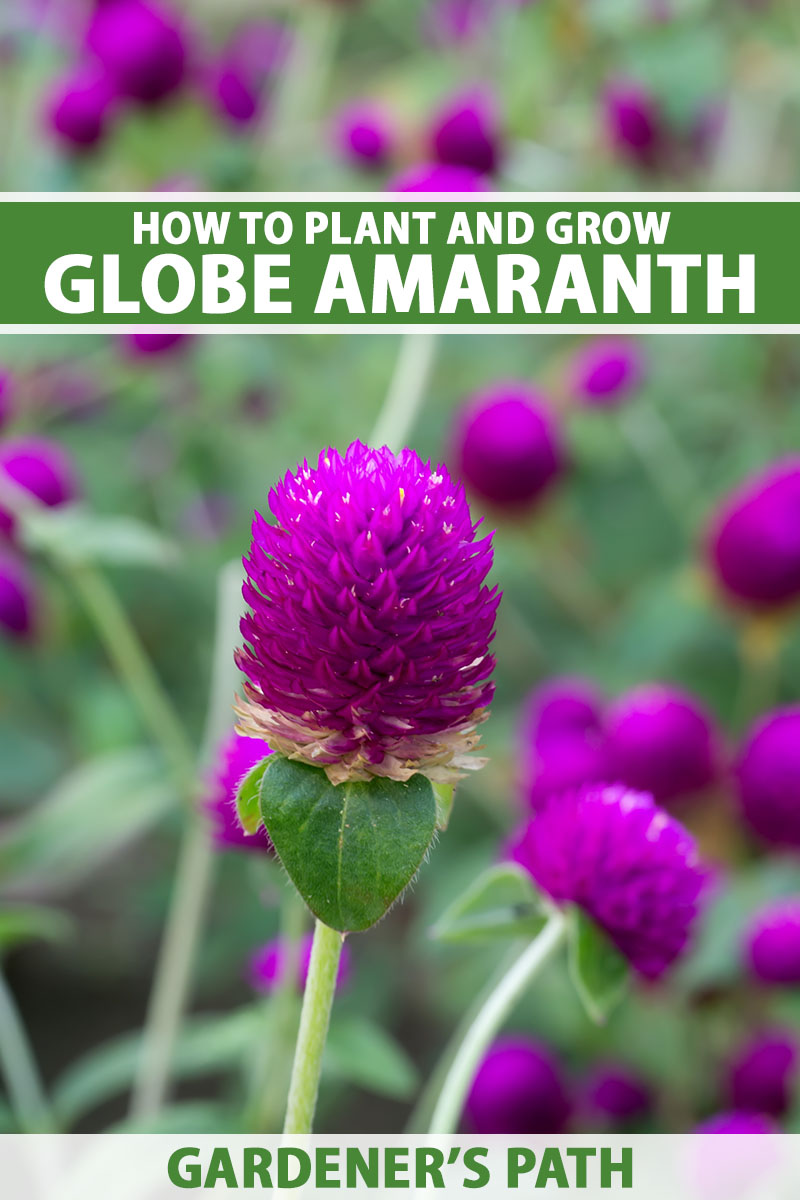 A close up vertical image of a deep pink Gomphrena globosa flower growing in the garden pictured on a soft focus background. To the center and bottom of the frame is green and white printed text.