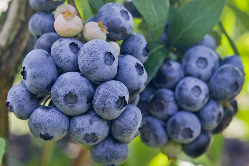 A close up horizontal image of a cluster of highbush blueberries (Vaccinium corymbosum) ready to harvest pictured in filtered sunshine on a soft focus background.