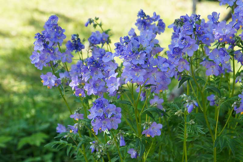 A close up horizontal image of bright blue flowers growing in the garden in a shady spot with a sunny lawn in soft focus in the background.