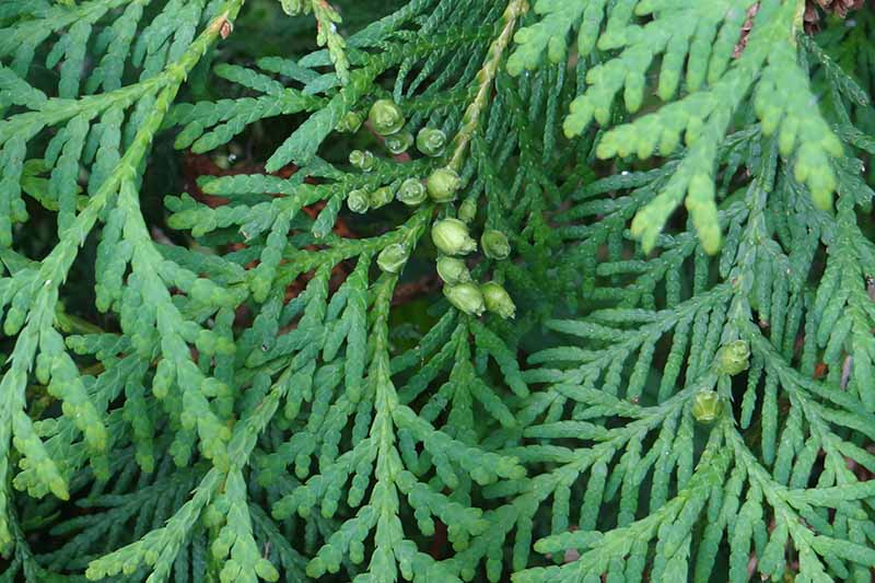 A close up horizontal image of the foliage of a juniper shrub pictured on a soft focus background.