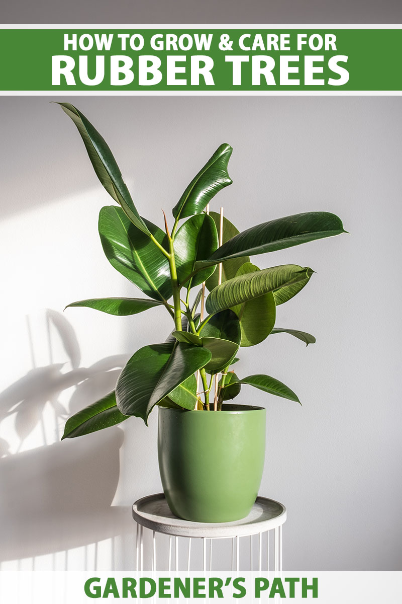 A close up vertical image of a rubber tree growing in a green ceramic container set on a plant stand against a white wall background. To the top and bottom of the frame is green and white printed text.