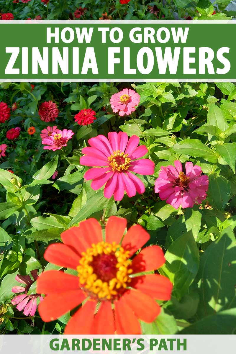 A vertical image of colorful zinnia flowers growing in the summer garden. To the top and bottom of the frame is green and white printed text.