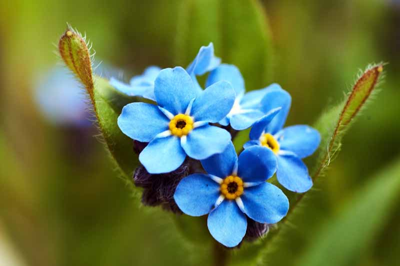 A close up horizontal image of forget-me-not flowers (Myosotis sylvatica) growing in the garden pictured on a soft focus background.