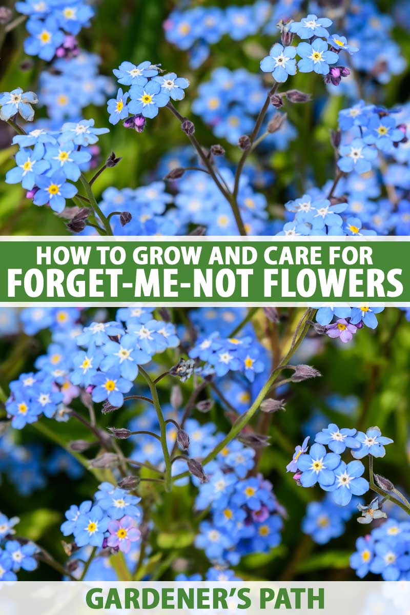 A close up vertical image of blue clusters of forget-me-not flowers growing in the garden pictured on a soft focus background. To the center and bottom of the frame is green and white printed text.