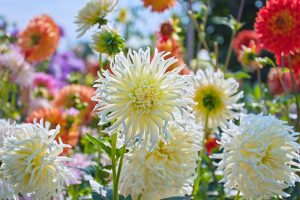 How to Grow Delightful Dahlias: A Late Summer Standard