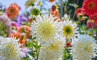 A close up horizontal image of a garden filled with late summer blooming dahlias in a variety of different shapes and colors.